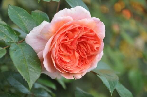 Розы, всюду розы!
