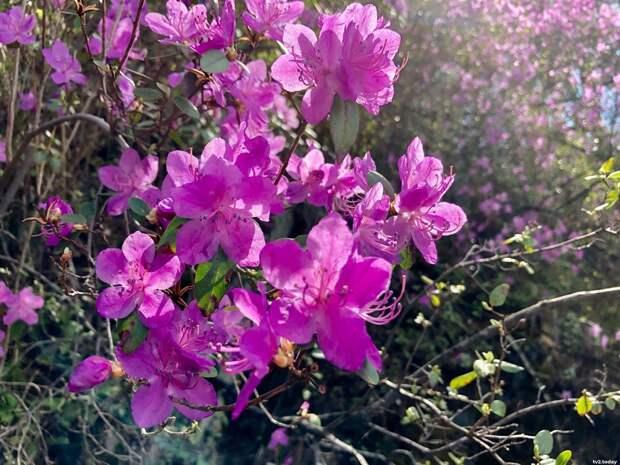 Цветение маральника в Горном Алтае