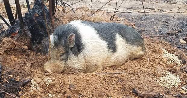 Роб Холмс думал, что его питомец погиб в пожаре  животные, питомец, пожар, хряк