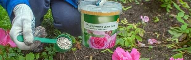 Что нужно делать, чтобы розы цвели все лето