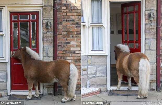 Шетландский пони считает себя собакой и умеет открывать шкафы и двери