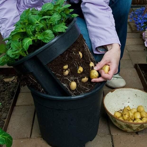 Картинки по запросу сажать картошку в мешках
