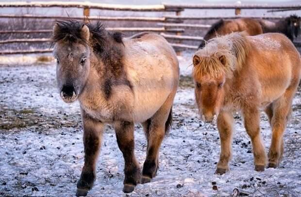 Лошади этой породы обычно бывают бурой, гнедой и серой масти, реже саврасой и мышастой Порода, животные, лошадь, россия, саха, фото, якут, якутия