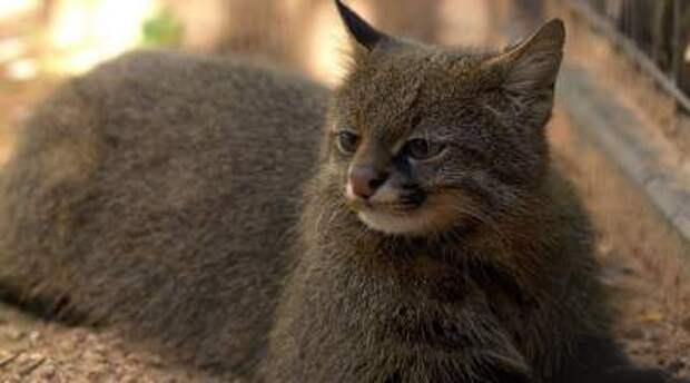 10 самых редких видов диких кошек на планете