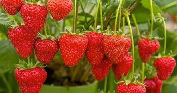 Всегда чистые ягоды: самодельный держатель для клубники