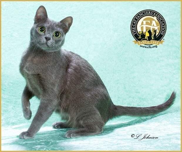 6 место. Корат. домашние животные, кошки, породы кошек, самые редкие