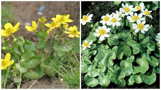 Калужница болотная, фото сайта Plant ID @ HCP и форма var. alba, фото сайта Садовый центр Аллея