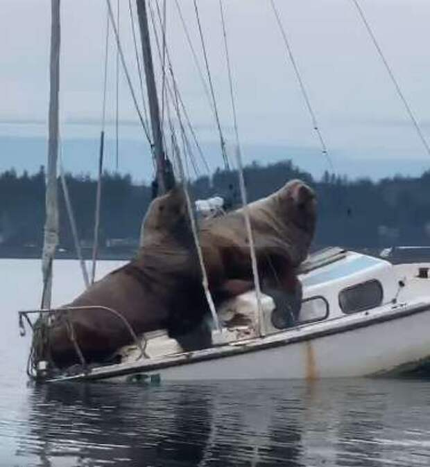 морские львы на лодке