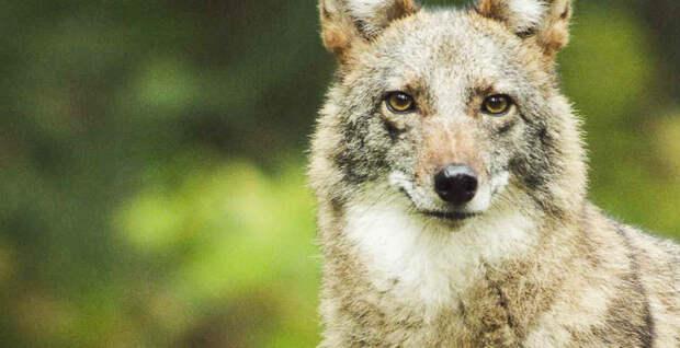 В США новый вид хищника активно захватывает территорию