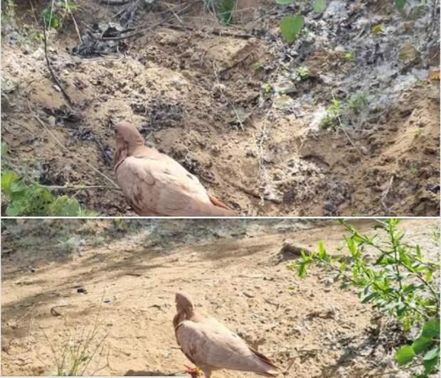 Окольцованный голубь потерялся на Живописной
