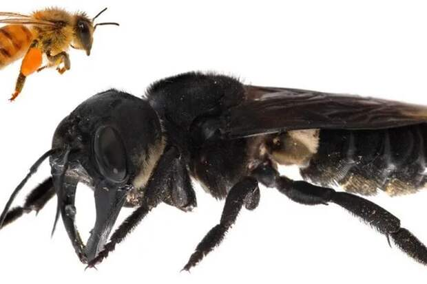 Пчелы Уоллеса (Megachile pluto) — гигантские пчелы, которые никто не видел больше 100 лет