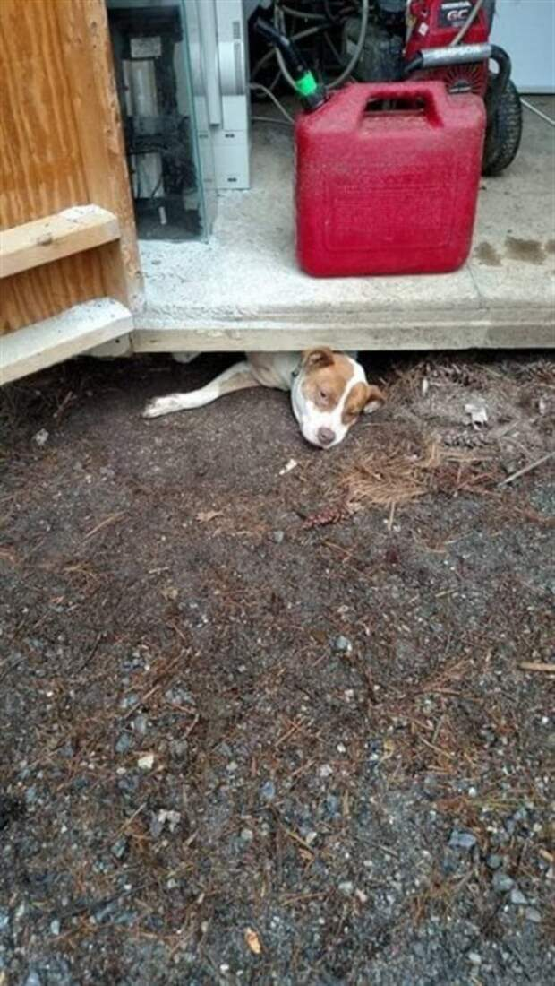 Беременная Тыковка хотела сбежать из приюта, но застряла в щели из-за живота