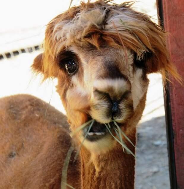 Дай нам 2 минуты и мы подарим тебе улыбку! Фото диковинных альпак, которые улучшают настроение :)