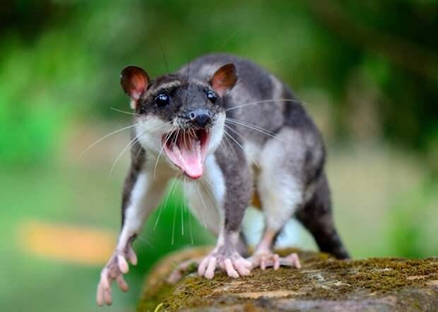 сумчатая крыса