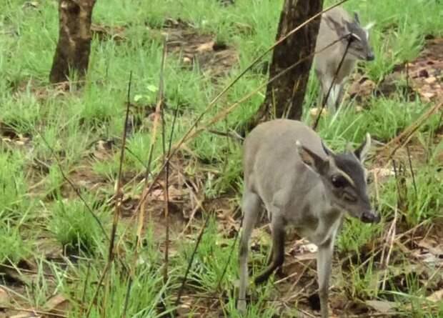 Фотоловушка сделала первый снимок скрытной африканской антилопы