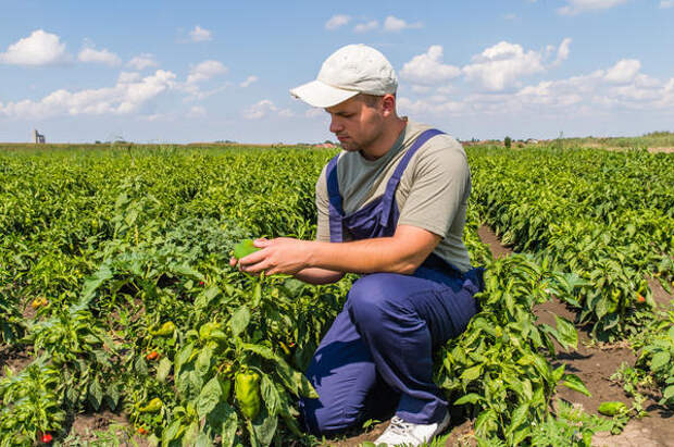Кубанские семена выращены с любовью в Краснодарском крае