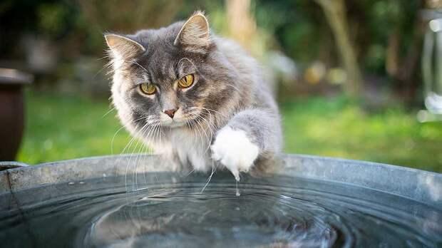 Почему кошки боятся воды, и какие породы любят плавать