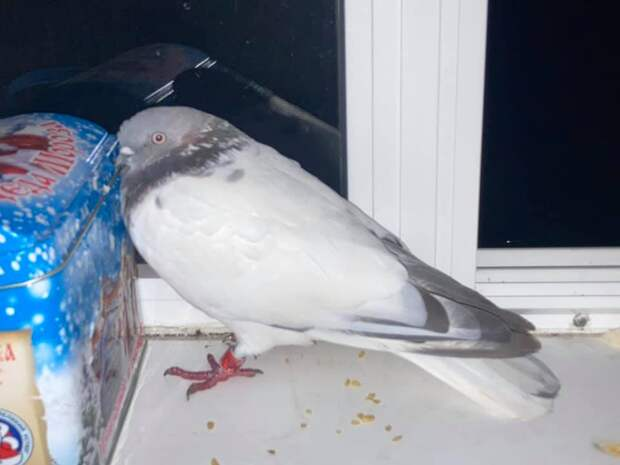 Окольцованный голубь залетел ночью в квартиру на Туристской