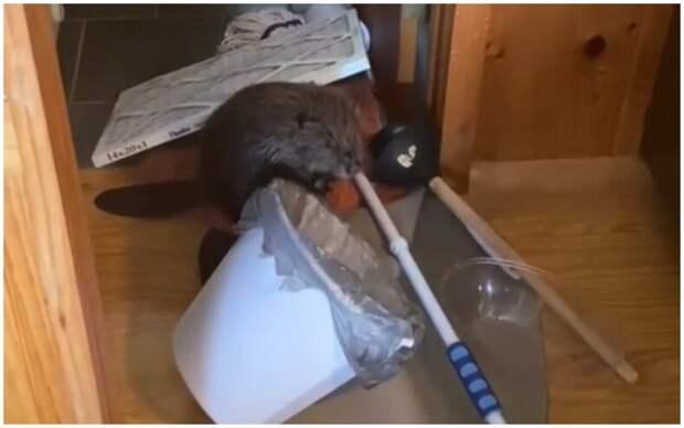Спасенный бобр строит нору и плотину в квартире своей хозяйки