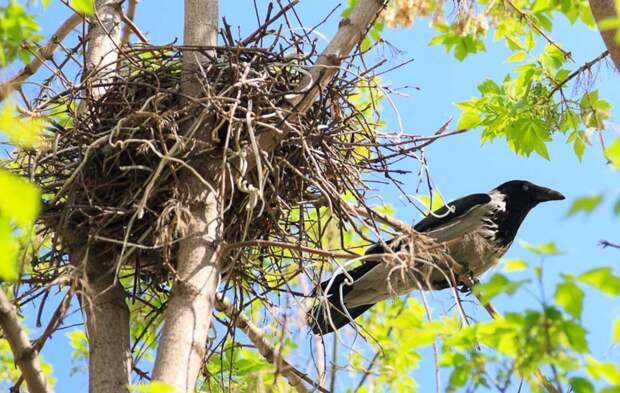 История. Спасла гнездо вороны, и мне вернулось бумерангом