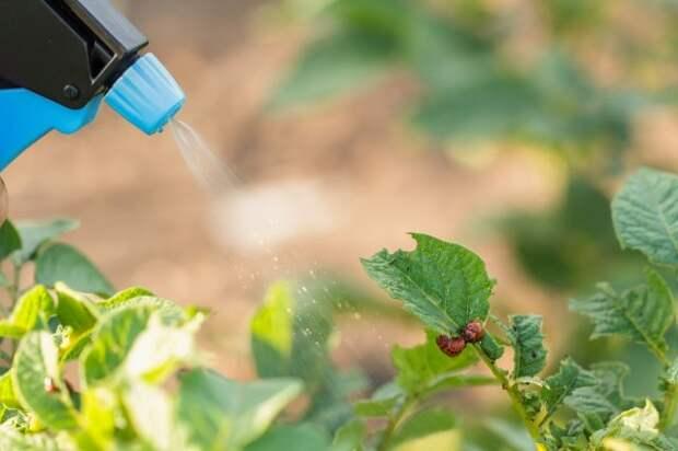 Как избавиться от колорадского жука на все лето за один день