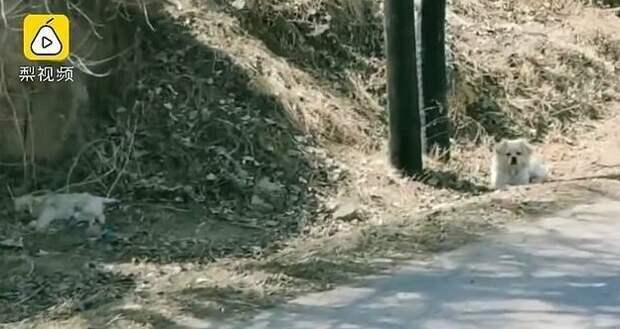 На кадрах Pear Video одна из двух собак охраняет погибшего друга гибель, животные, история, китай, охрана, собака, фото