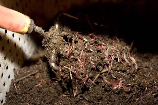 Калифорнийские червив компосте