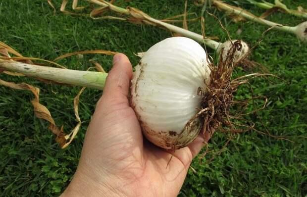 Чеснок размером с кулак, который не берут вредители: как его вырастить