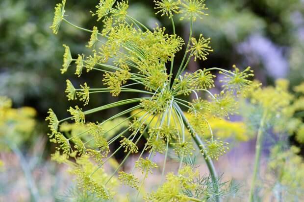 Как удобнее посадить укроп и кинзу у себя в огороде?