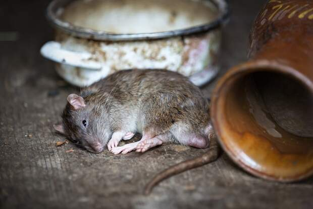 У магазина на Докукина заметили стаю жирных крыс