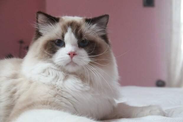 Самые большие коты: 6 породистых лидеров