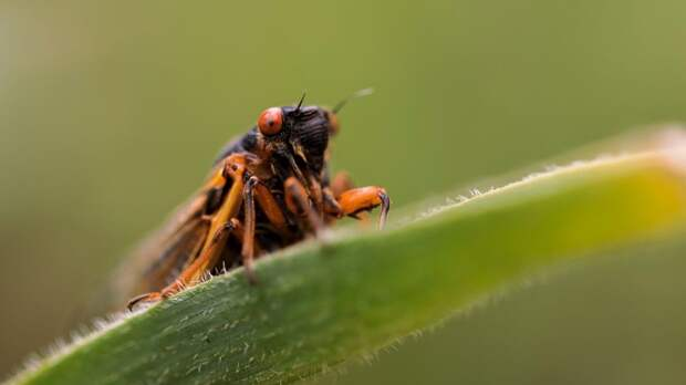 На США напали миллиарды цикад