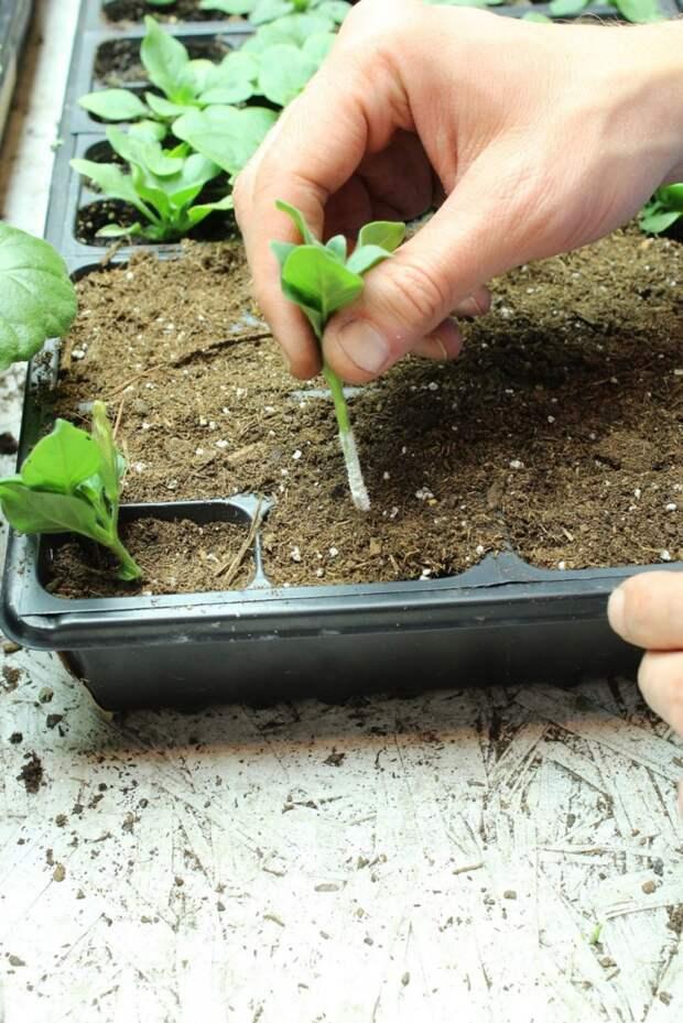 О выращивании рассады петунии: самое подробное руководство