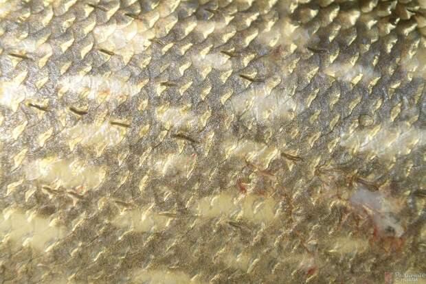 Круглые чешуйки щуки прочно сидят на коже хищницы. Они типично изогнуты и покрыты слоем слизи.