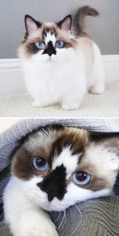 Милейший Манчкин животные, забавно, коты, кошки, неожиданно, окрас, окрас кошек, фото