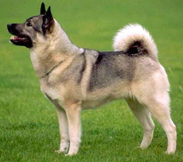 эльгхунд, норвежский элкхаунд, породы собак, фото, фотография
