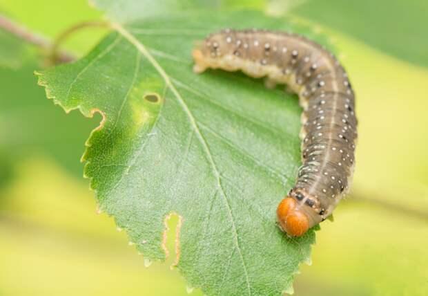 Вредители наносят плодовым деревьям большой ущерб