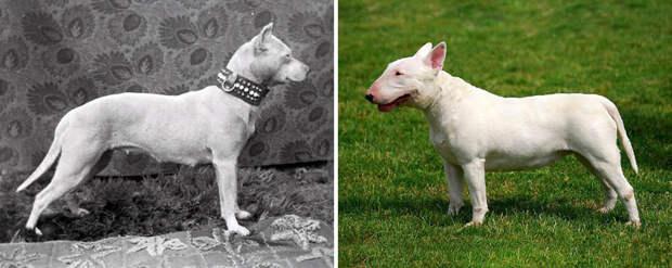 Породы собак, которые за 100 лет изменились до неузнаваемости