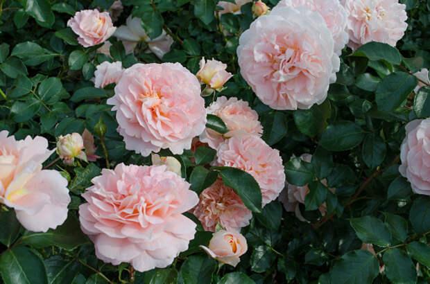 В Ботаническом саду открылся розарий