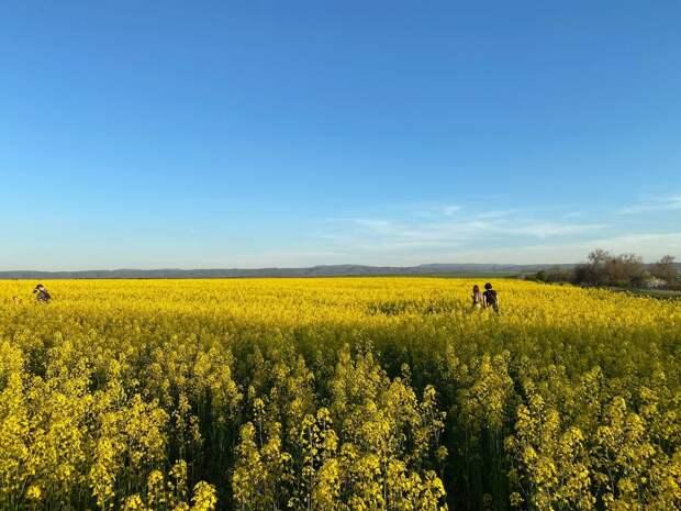 Рапсовые поля в Крыму: куда и когда ехать фотографироваться