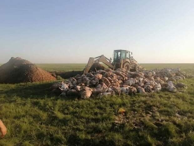 В ЗКО утилизировали туши мертвых сайгаков