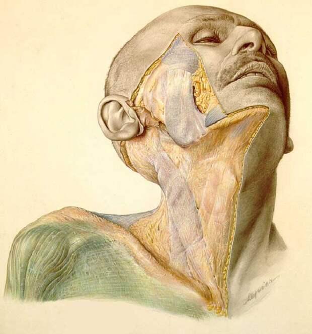 Дьявольский атлас Пернкопфа: нацистская книга по анатомии человека, которую до сих пор используют хирурги