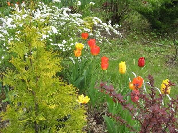 луковичные тюльпаны в саду