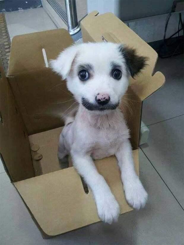 Чарли Чаплин животные, мутации, невероятно, необычно, окрас, собаки, удивительно, фото