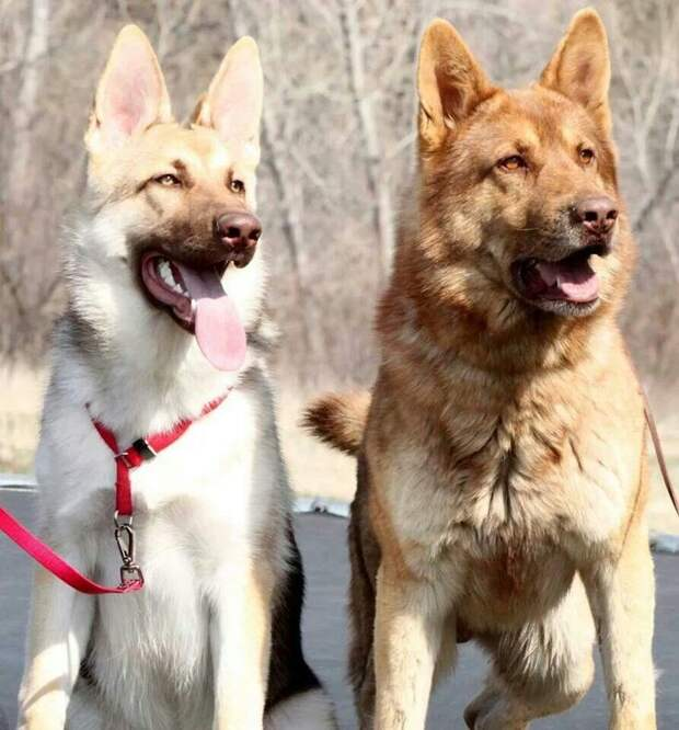 Два брата - Рыжик и Беляк животные, мутации, невероятно, необычно, окрас, собаки, удивительно, фото