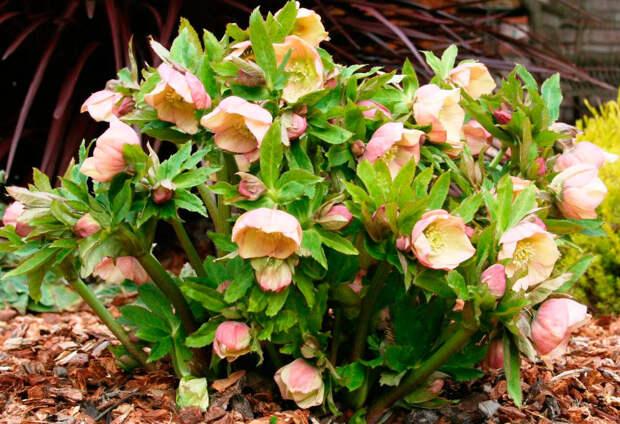 Многолетний садовый цветок Морозник (Helleborus)