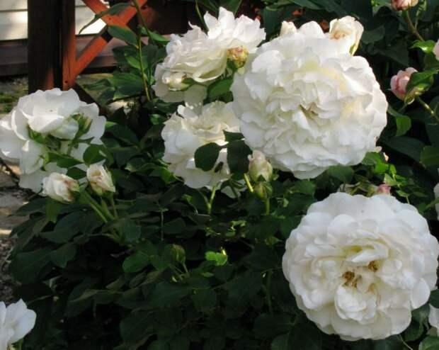 флорибунда Роза Kosmos