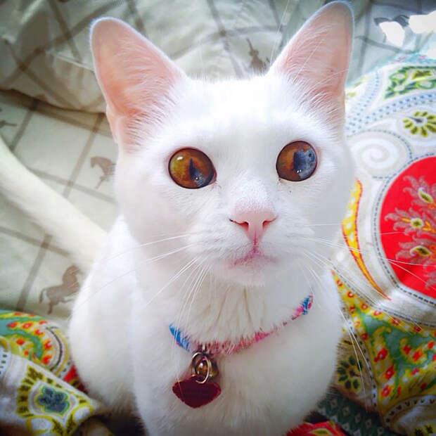 Белоснежная кошка с темными глазёнками.