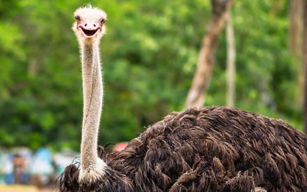 Очумелый страус выбежал на дорогу. Поймать его оказалось непросто