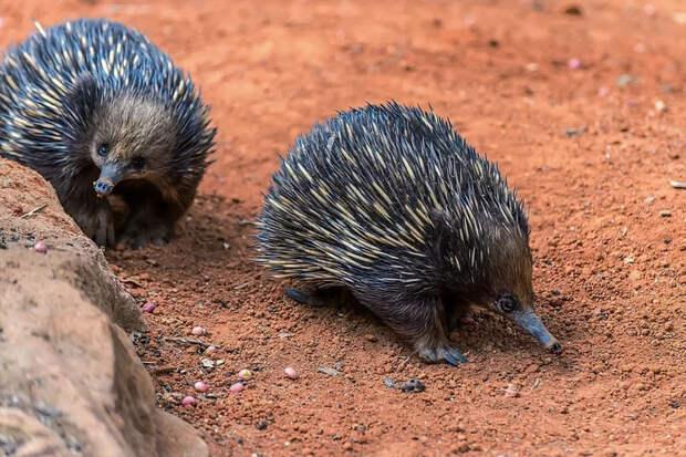 Ехидна: несколько интересных фактов о необычном животном из Австралии Ехидна, Животные, Австралия, Яндекс Дзен, Длиннопост
